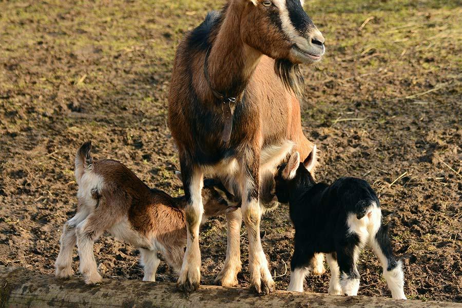 Ziegen Familie